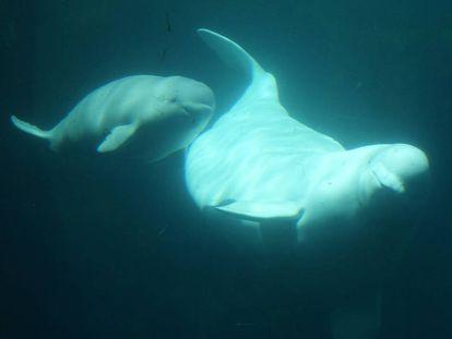 Una beluga y su cría en el acuario de Vancouver, Canadá