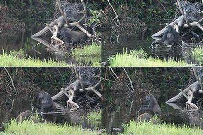 Secuencia de cómo la gorila <i>Leah</i> agarra una rama al entrar en una laguna y la utiliza para sondear la profundidad y el fondo y estabilizarse.