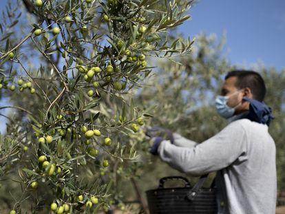 Un temporero recoge aceitunas en una finca del Aljarafe sevillano.