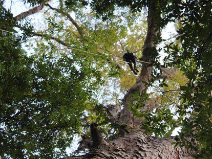 Un investigador, en la copa de los árboles más grandes de la Amazonia.