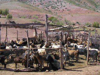Al principio, la leche de animales como las cabras se consumía convirtiéndola en productos como el queso