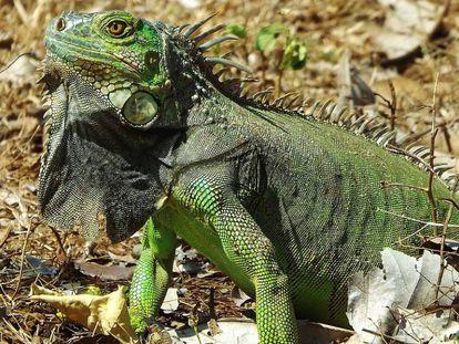 Un ejemplar de iguana verde.