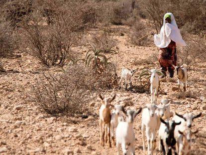 Hodo, de ocho años, cuida de las cabras de su familia que aún sobreviven en Somalilandia.