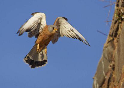 Un cernícalo primilla en pleno vuelo.
