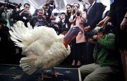 Uno de los pavos eximidos de ser comidos en Acción de Gracias en una foto de archivo.