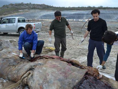 Un grupo de investigadores extrae plásticos del estómago de un cachalote localizado frente a la costa de Granada en marzo de 2012.