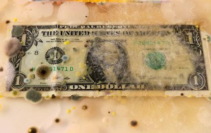 Un dolar americano invadido por micelio y hongos en una caja enriquecida de agar.