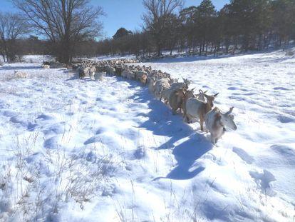 Cabras en una explotación de Toledo el pasado día 11 de enero, durante el temporal de nieve.