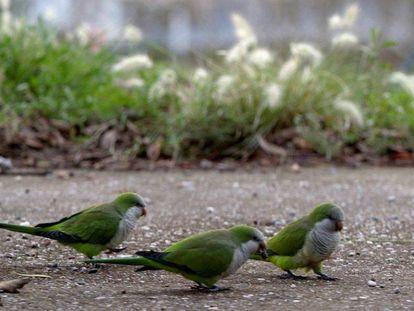 Tres ejemplares de cotorras argentinas en un parque.
