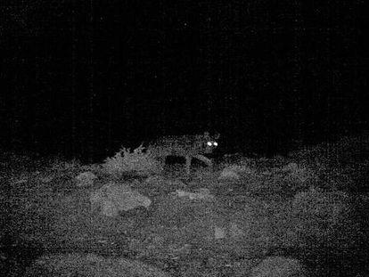El último lobo fotografiado en Cataluña, este año, con la técnica del 'fototrampeo'.
