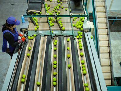 Una Mujer selecciona frutas en una planta procesadora en Neuquén, Argentina.