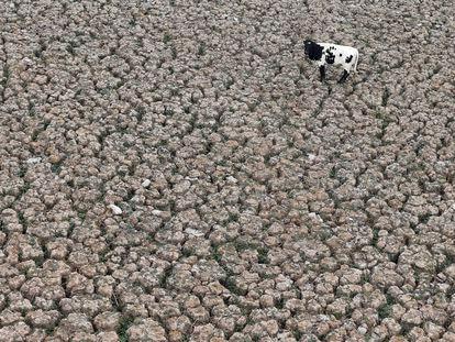 Una vaca se ve en un terreno que solía estar lleno de agua, en la Laguna Aculeo en Paine, Chile 9 de enero de 2019.