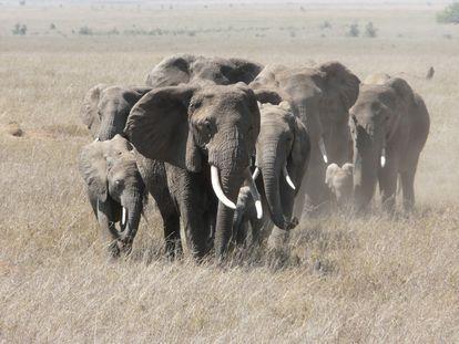 Manada de elefantes en el parque del Serengueti, en Tanzania, en 2011.