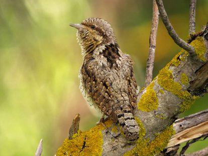 Torcecuello euroasiático. Foto ganadora del concurso Foto Aves 2011 (en la categoría de aves forestales de España).