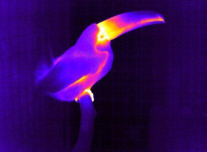 Termografía infrarroja de un tucán: las zonas amarillas son las más calientes