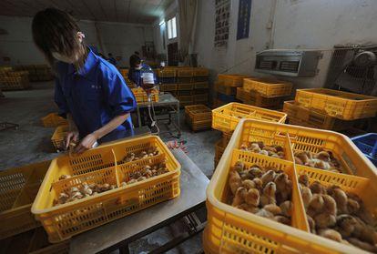 Varios trabajadores vacunan a polluelos contra la gripe aviar H9 en una granja de la provincia china de Anhui.