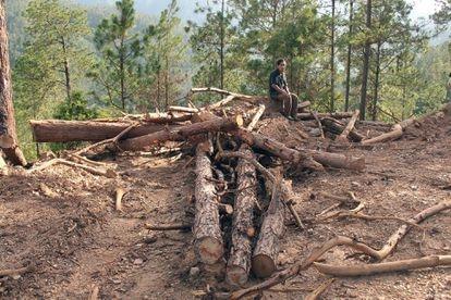 Los tolupanes llevan años denunciando la tala indiscriminada de sus bosques de pino.