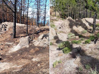 Antes y después de un incendio en el parque natural de Tamadaba, en Gran Canaria.