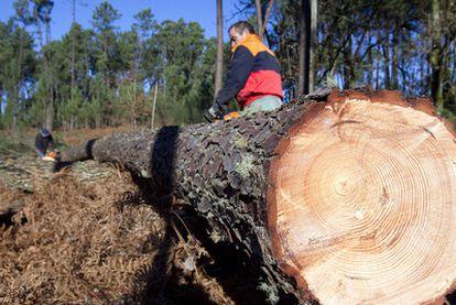 Tala de pinos enfermos en As Neves, en el sur de la provincia de Pontevedra.
