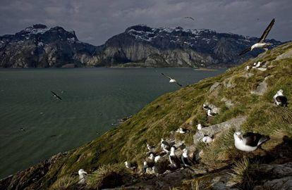 Colonia de albatros de ceja negra en Karukinka (Chile)