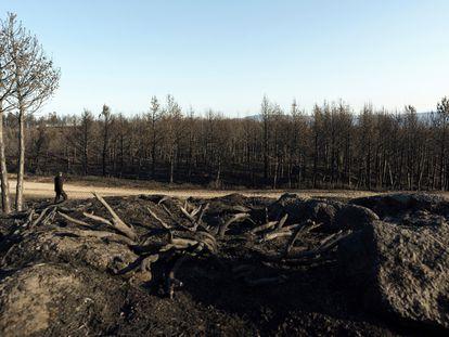 Pinares quemados en la cresta de la sierra del Pico Zapatero.