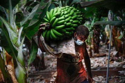 Yulian Lorenzo carga una piña de plátanos, el pasado jueves en una finca de Tazacorte (La Palma).