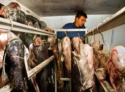 Un operario almacena siluros pescados en el río Ebro.