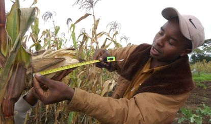 Un joven agricultor mide un cultivo de maíz en Kenia.
