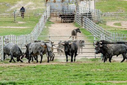 Toros de la ganadería de Victorino Martín, en la dehesa cacereña.