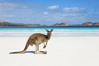 Un canguro en la playa de Lucky Bay, en el parque nacional australiano de Cape Le Grand.