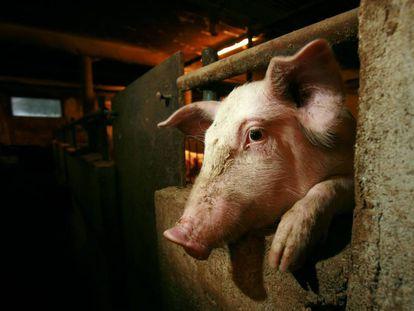 Un cerdo asoma la cabeza entre los barrotes de su cubículo en una granja.