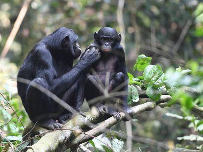 Una madre y su hijo, en la reserva de bonobos de Kokolopori, en la Rep. Dem. del Congo.