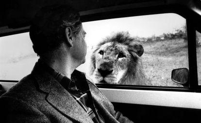 Un león mira a un visitante de Rioleon Safari, en una imagen de 1988.