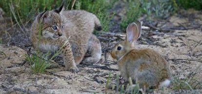 Los cachorros de lince en la zona de Jaén han bajado, algo que se atribuye a diferentes brotes de enfermedades del conejo.
