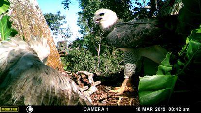 El águila arpía adulta llega al nido sin presa para alimentar a su aguilucho