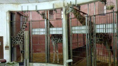 Jaula con las jirafas del Zoo de Barcelona.