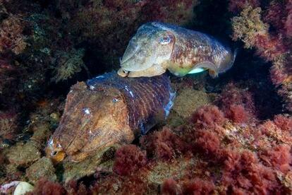 Una pareja de sepias ('Sepia officinalis') en las costas europeas guardando una cueva dónde quizás están sus huevos. Estas especies no tienen por que ajustarse a la presencia de consortes y 'sneakers'.