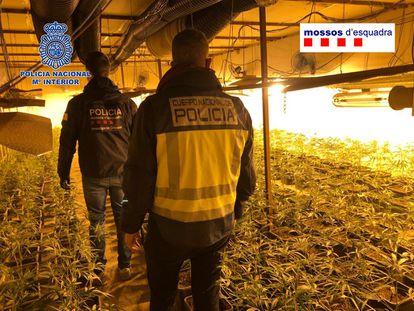 Los Mossos y la Policía desarticulan una de las mayores organizaciones de tráfico de marihuana de origen chino.