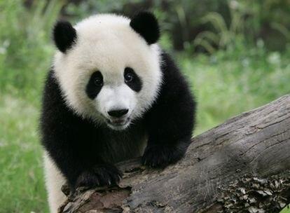Un equipo científico internacional ha logrado secuenciar el genoma del oso panda gigante