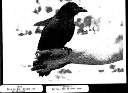 También intentaron implantar micrófonos en cuervos, pero el animal más prometedor pereció atacado por otros pájaros