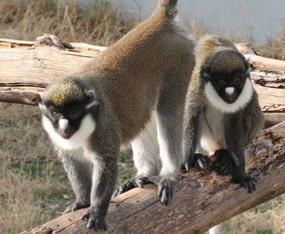 Marta y Eider, las dos primates robadas en el centro Rainfer.