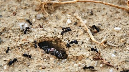 Las hormigas pueden cavar largos túneles que duran décadas en buen estado