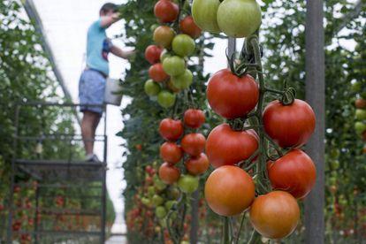 Un hombre trabaja poniendo perchas en un invernadero de tomate en La Cañada, Almería.