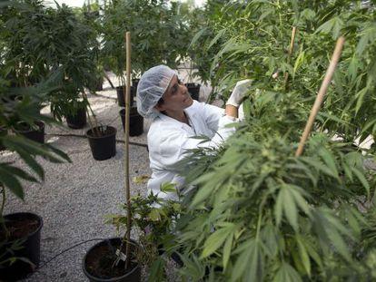 Una mujer trabaja en un invernadreo de marihuana para uso médico en Israel.