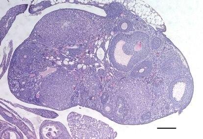 Ovario de uno de los ratones modificados para producir más óvulos.