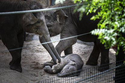 Una cría de elefante, una de las nuevas habitantes del zoo de Madrid, que nació días antes del decreto de estado de alarma.