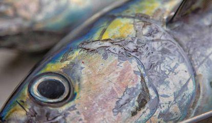 Un ejemplar de atún de aleta amarilla.