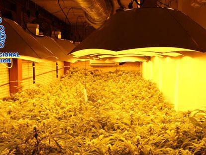 Plantas de marihuana halladas por la Policía Nacional.