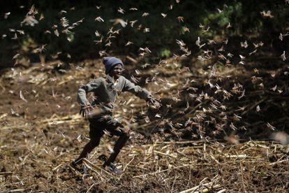 Un niño corre entre langostas en el condado de Nakuru, en Kenia.