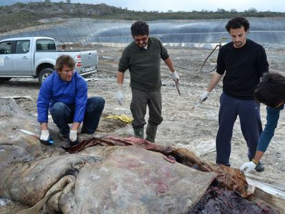 Un investigador abre el vientre del cachalote varado.